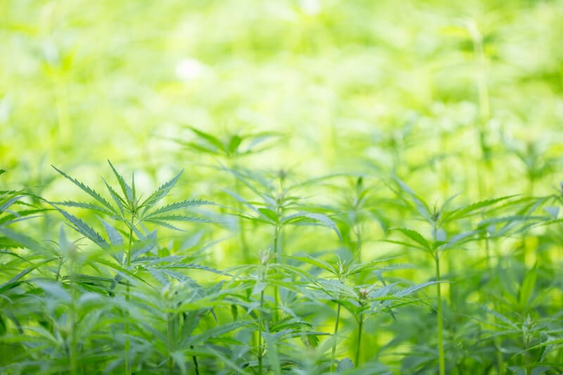 field of cannabis plants, what is delta 8