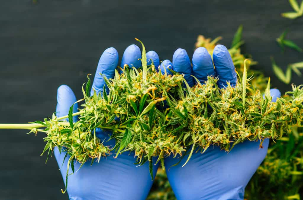 gloved hands holding cannabis, when to harvest weed