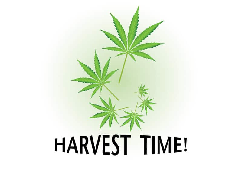 harvest time written in black with marijuana leaves, when to harvest weed