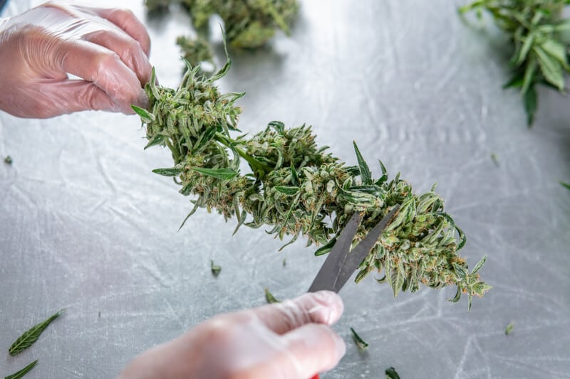 gloved hands trimming weed, weed trimming jobs