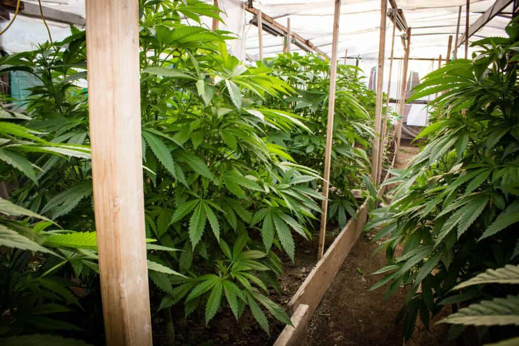 marijauna plants in greenhouse, medical marijuanas jobs