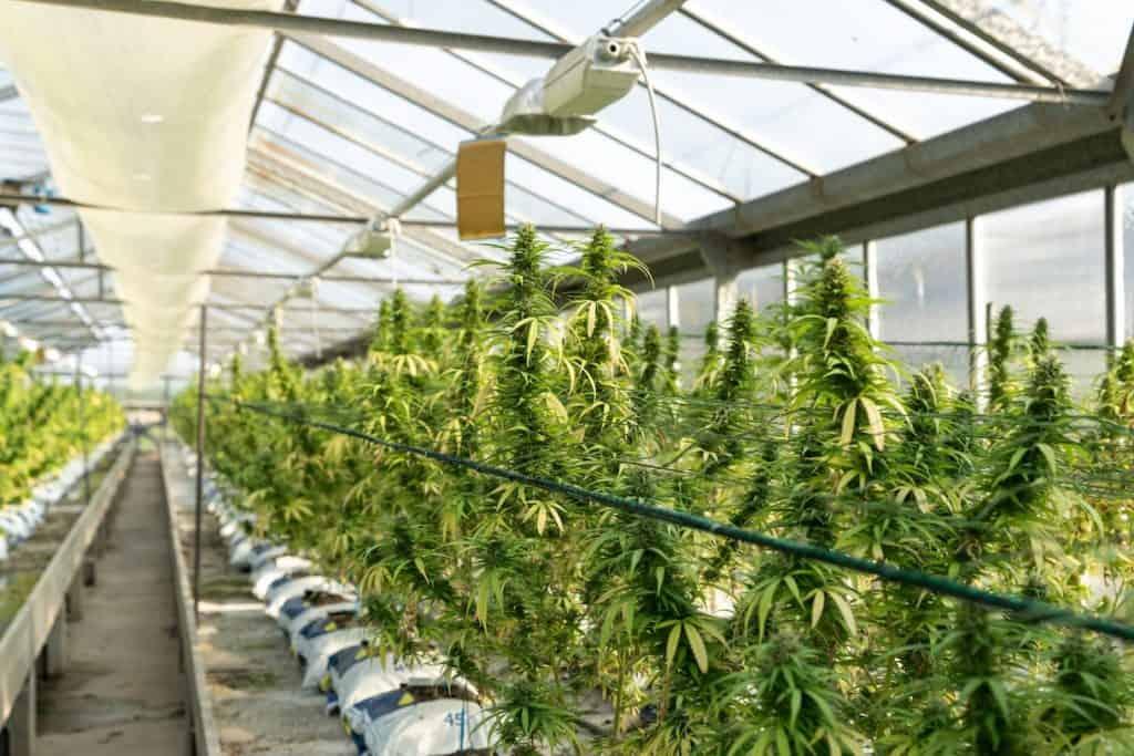 greenhouse of cannabis plants, cannabis jobs in Oregon