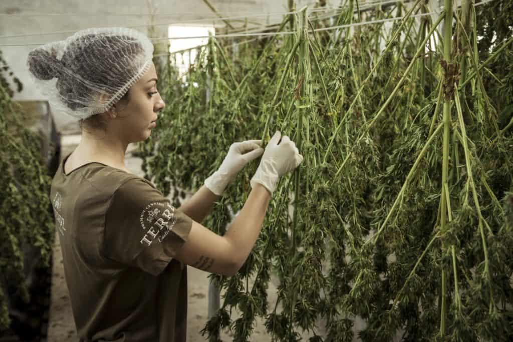 women trimming cannabis, bud trimmer jobs