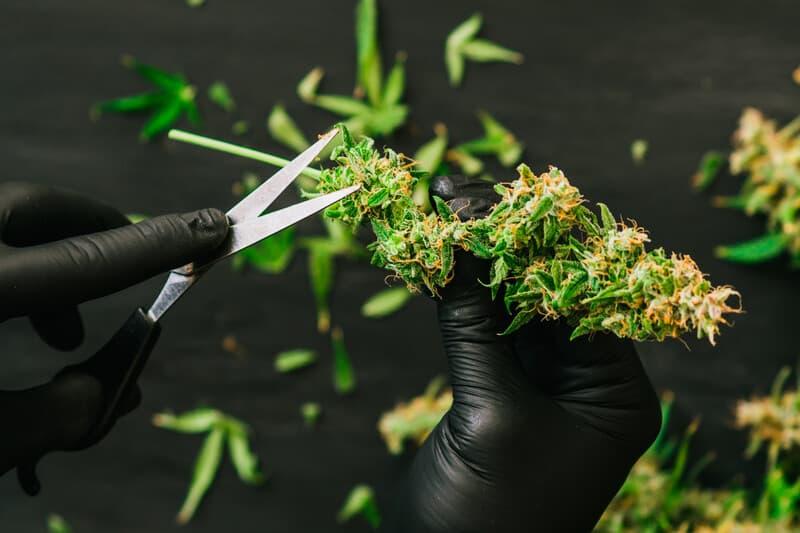 scissors trimming cannabis, bud trimmer jobs