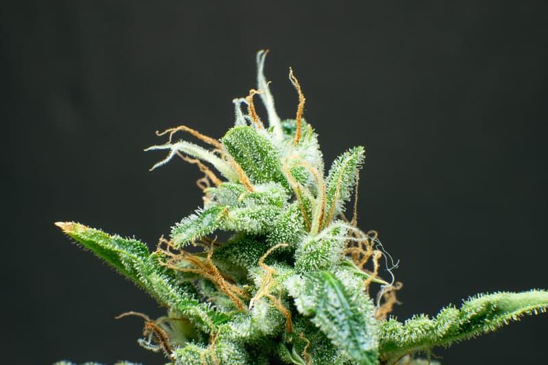close up of a cannabis strain, landrace cannabis