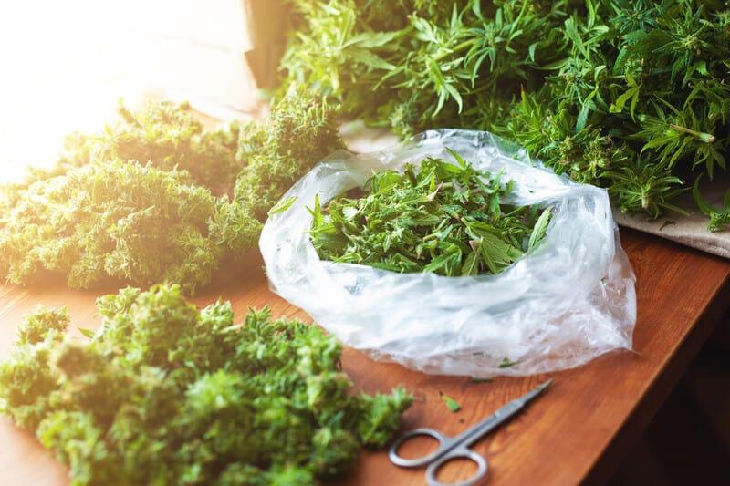 cannabis buds on table with scissors, medical marijuanas jobs