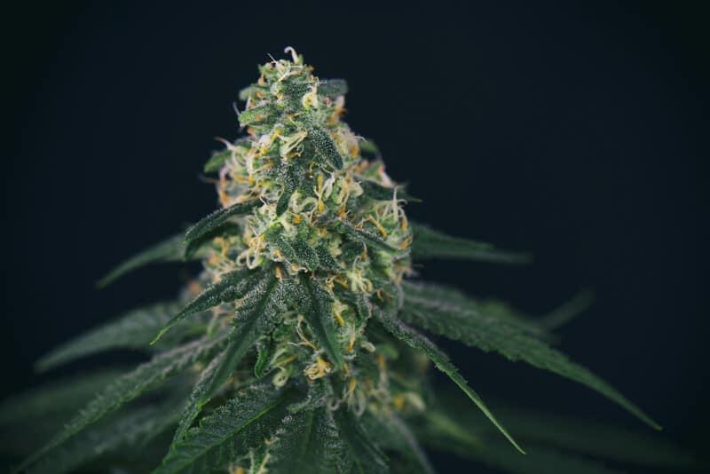 close up of orange cream strain cannabis